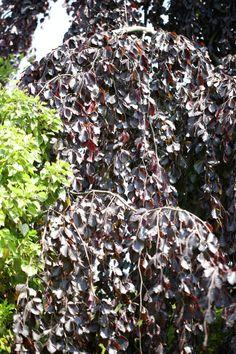 Beech (Fagus sylvatica) trunk in autumn..