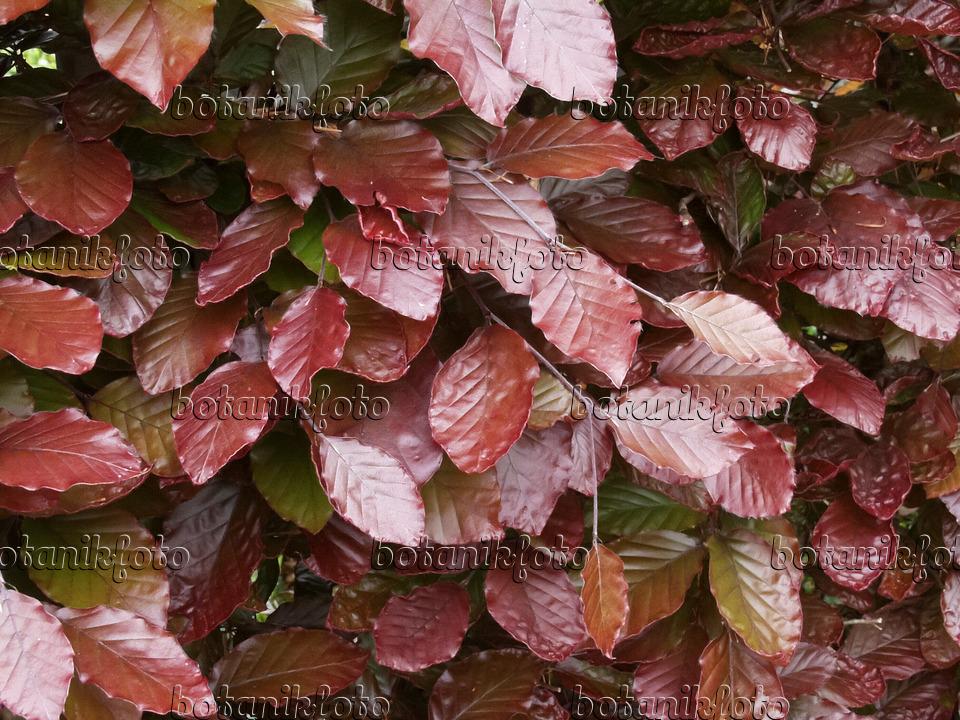 Image Copper beech (Fagus sylvatica 'Atropunicea').