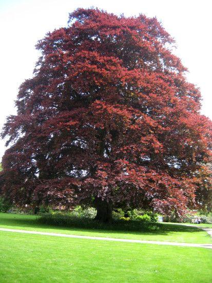 Fagus sylvatica, the European Beech or Common Beech, is a.