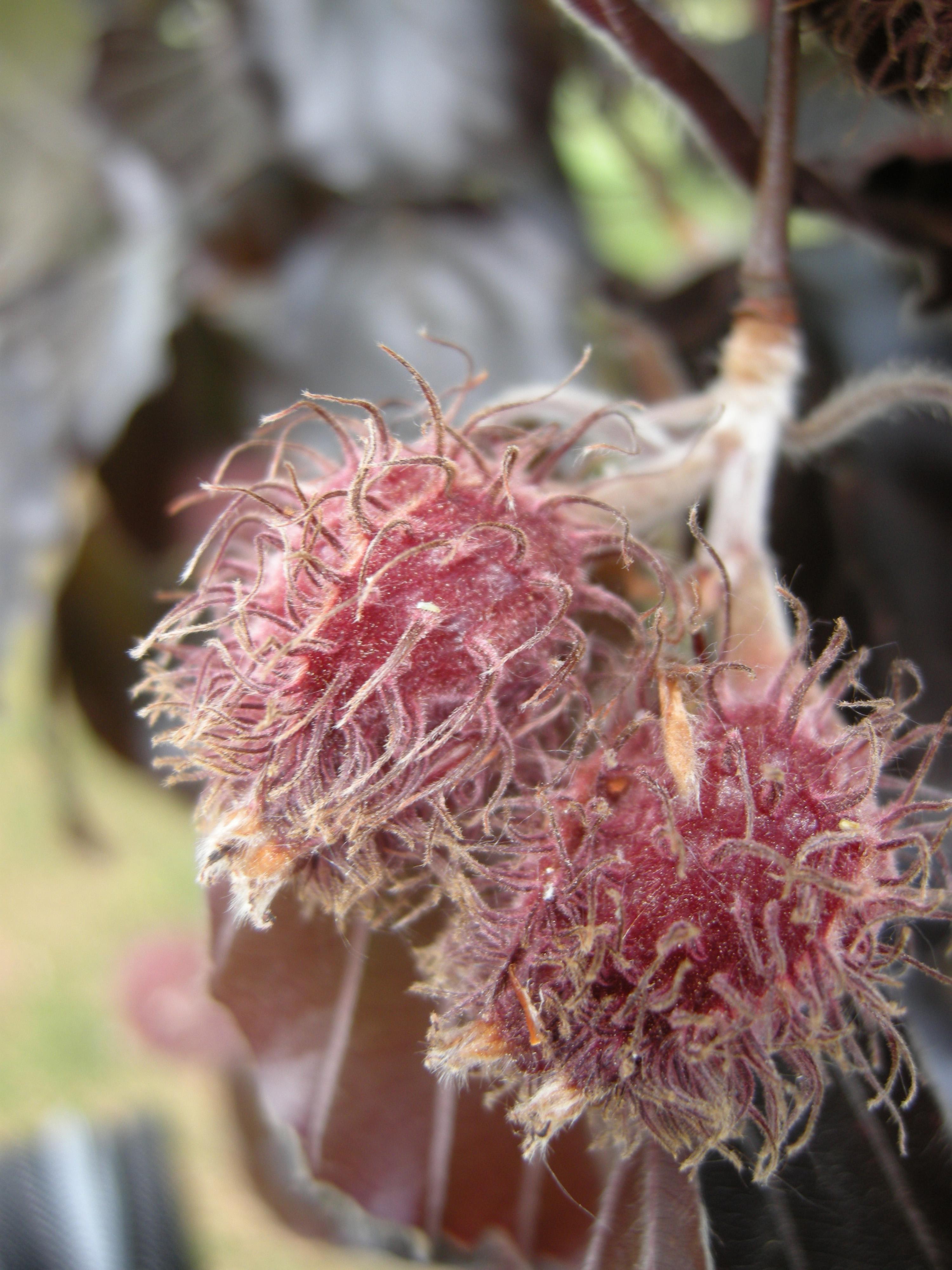 Fagus sylvatica f. purpurea.