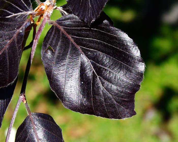 GardensOnline: Fagus sylvatica Purpurea.