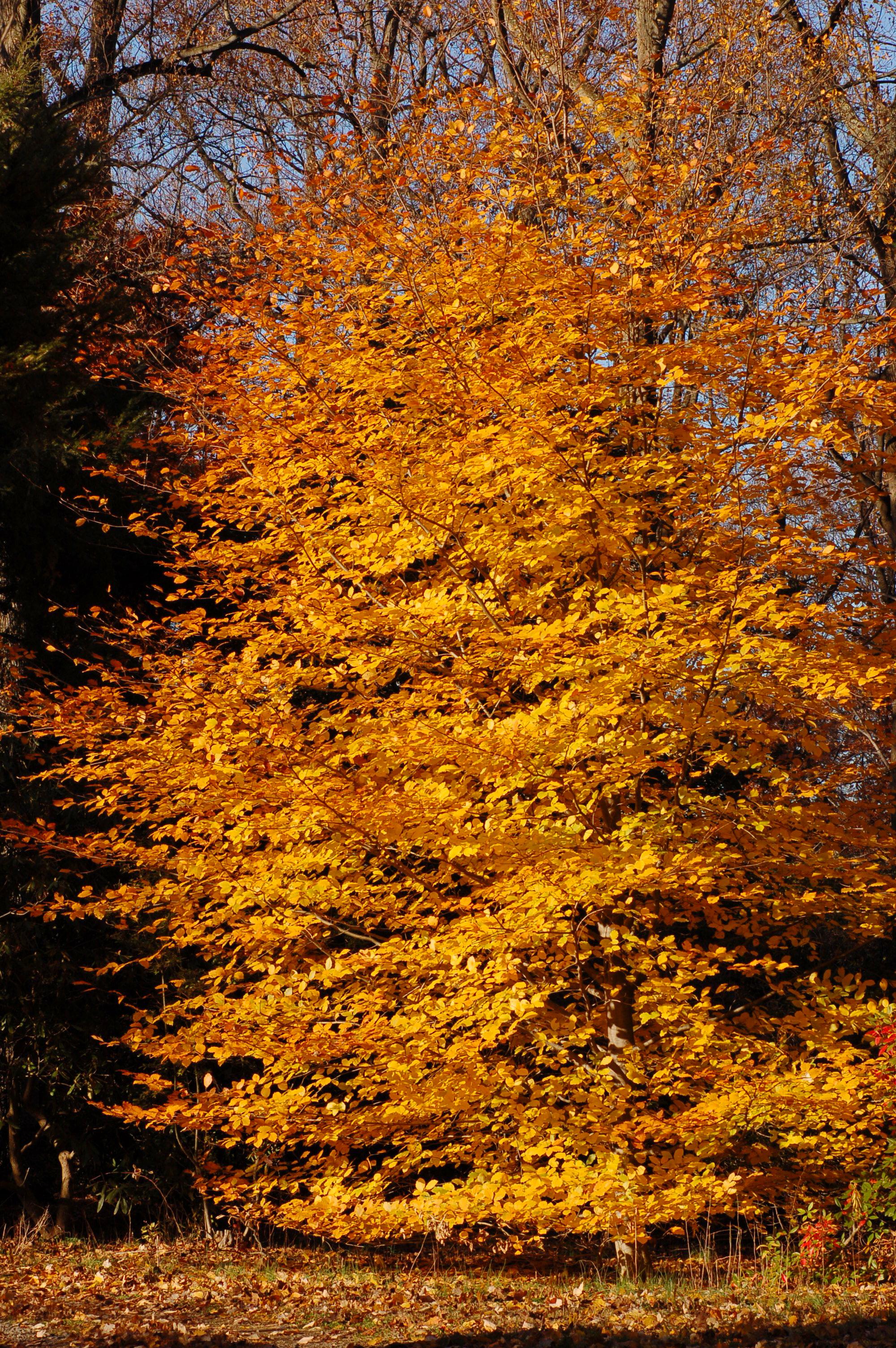 File:Copper Beech Fagus sylvatica f. purpurea Autumn Tree 2000px.