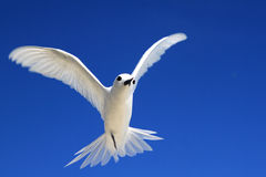 Flying Fairy Tern Birds Stock Photo.