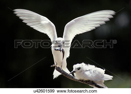 Stock Photograph of Fairy tern, Gygis alba, feeding a chick.
