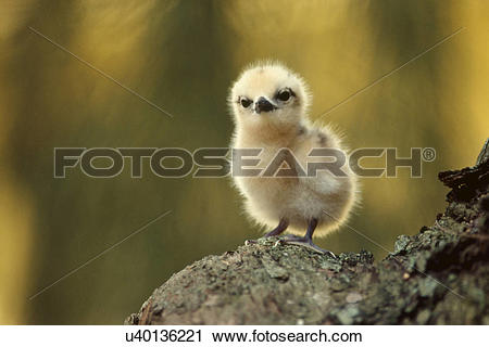 Stock Photography of Fairy tern, Gygis alba, a chick on a rock, in.