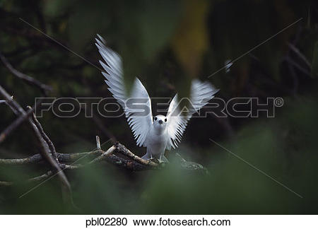 Stock Photography of Fairy tern, Henderson Island, Pitcairn Group.