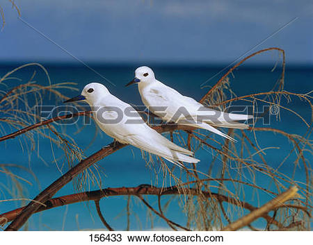 Stock Photo of two fairy terns on twig / Gygis alba 156433.