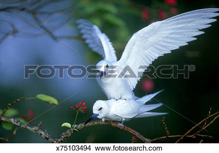 Stock Photo of fairy terns gygis alba mating bird island.