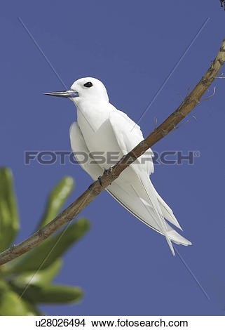 Stock Photo of White / Fairy tern (Gygis alba) resting on branch.