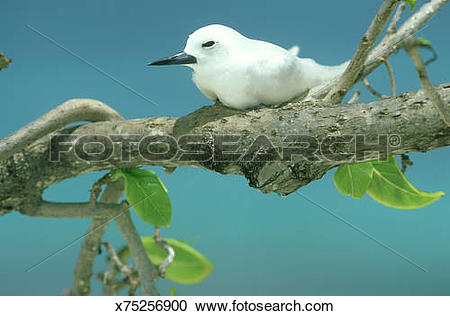 Stock Photography of fairy tern: gygis alba bird island.