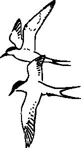 Chirping Arctic Tern Clip art.