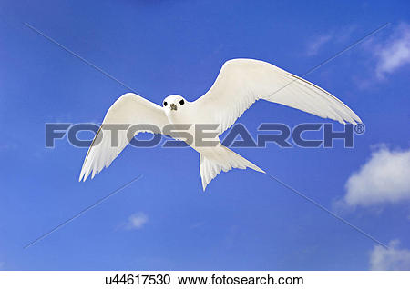 Stock Photography of Fairy tern in flight, Gygis alba, Tern Island.