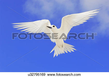 Stock Photograph of Fairy tern in flight, Gygis alba, Tern Island.