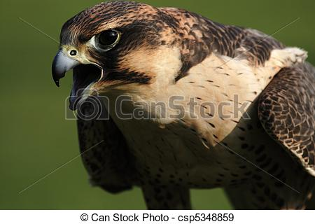Stock Photographs of Close up of a Peregrine Falcon (Falco.