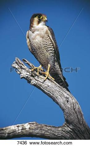 Stock Images of Peregrine Falcon (Falco peregrinus) perching on.