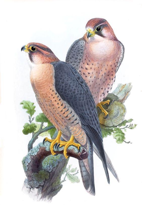 Falco Peregrinus Babylonicus.