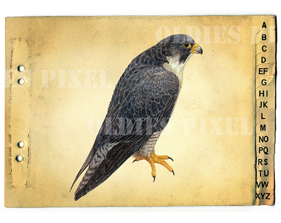 Falco Peregrinus / Peregrine Falcon Bird Drawing by OldiesPixel.