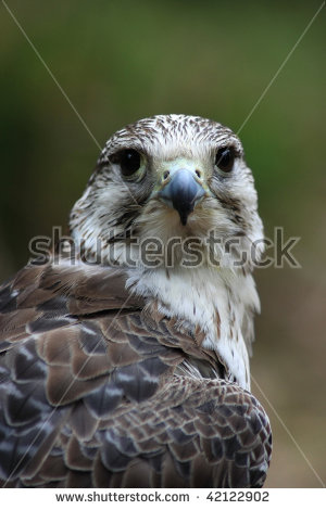 Falcon Falco Peregrinus Stock Photos, Royalty.