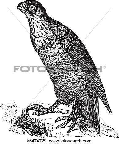 Clip Art of Peregrine Falcon or Falco peregrinus, vintage.