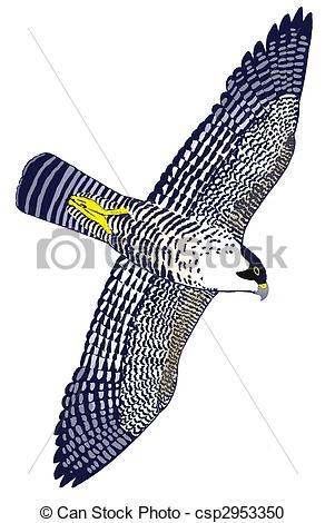 Peregrine falcon falco peregrinus hawk bird birding Illustrations.