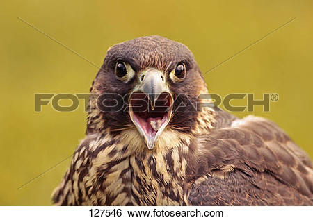 Stock Images of peregrine falcon.
