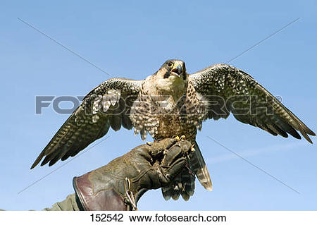 Stock Photo of Peregrine falcon / Falco peregrinus 152542.
