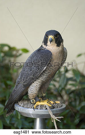 Stock Photography of A Peale's Peregrine Falcon (Falco peregrinus.