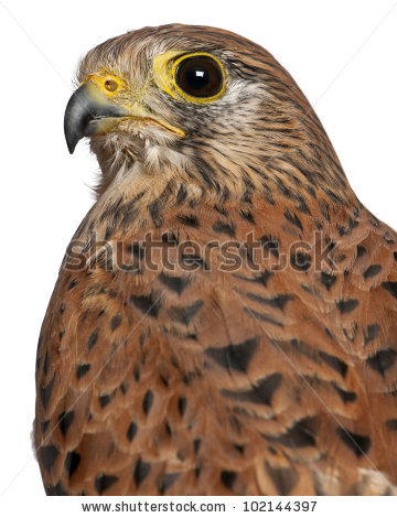 Portrait Of Common Kestrel, Falco Tinnunculus, A Bird Of Prey In.