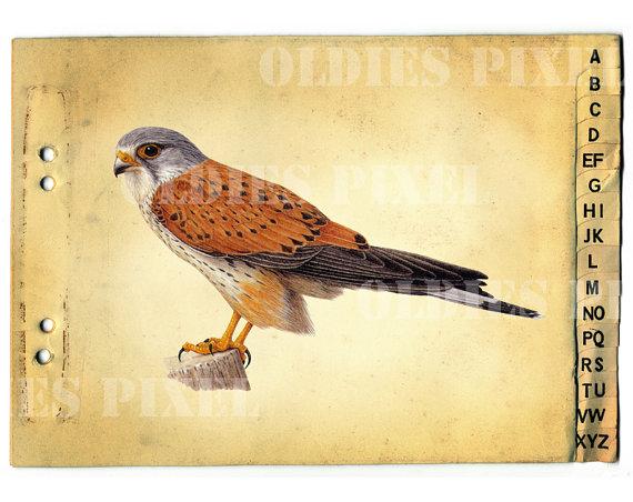 Common Kestrel / Falco Tinnunculus Bird Drawing by OldiesPixel.
