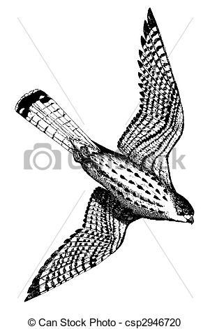 Stock Illustration of Eurasian Kestrel.