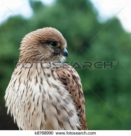 Stock Photography of Young Common Kestrel (Falco tinnunculus.
