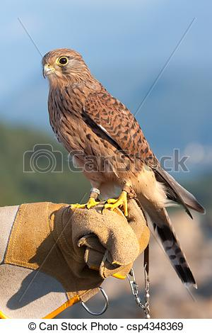 Stock Photographs of Common Kestrel (Falco tinnunculus) perched on.