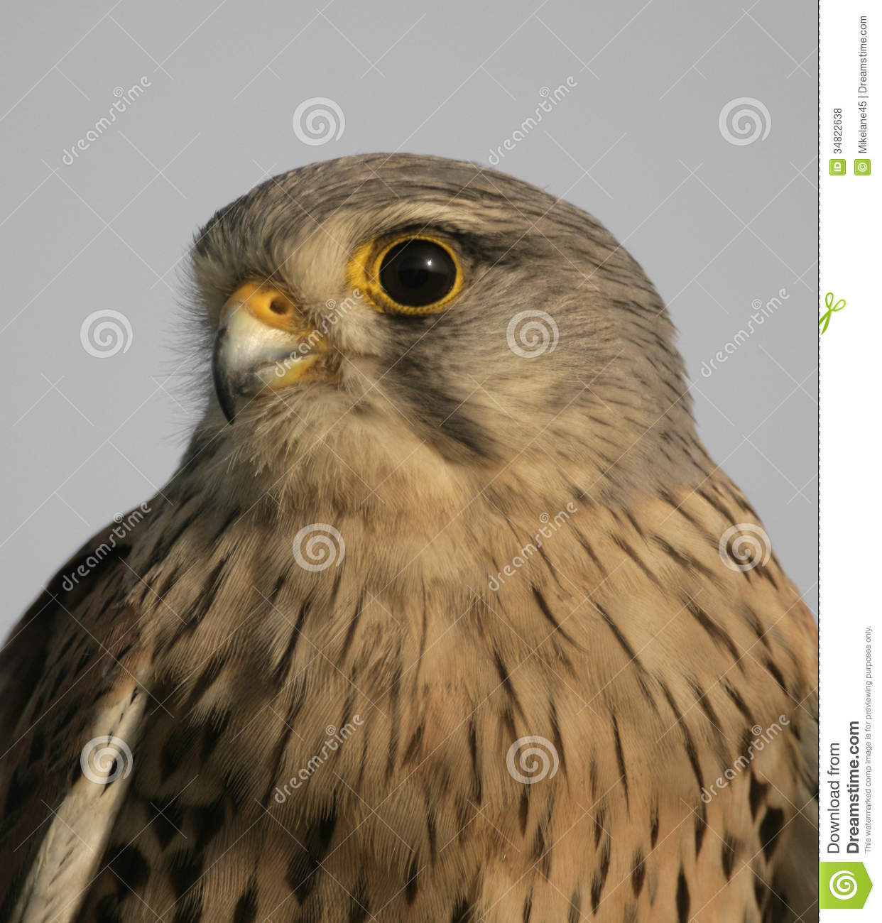Kestrel, Falco Tinnunculus Royalty Free Stock Photos.