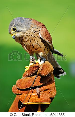 Stock Images of Common Kestrel (Falco tinnunculus) perched on.