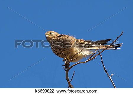 Stock Photo of Common Kestrel, Falco tinnunculus k5699822.