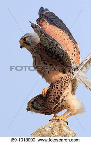 Stock Photography of Kestrels copulation. Common Kestrel (Falco.