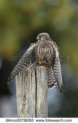 """Stock Image of """"Common Kestrel (Falco tinnunculus), female with a."""