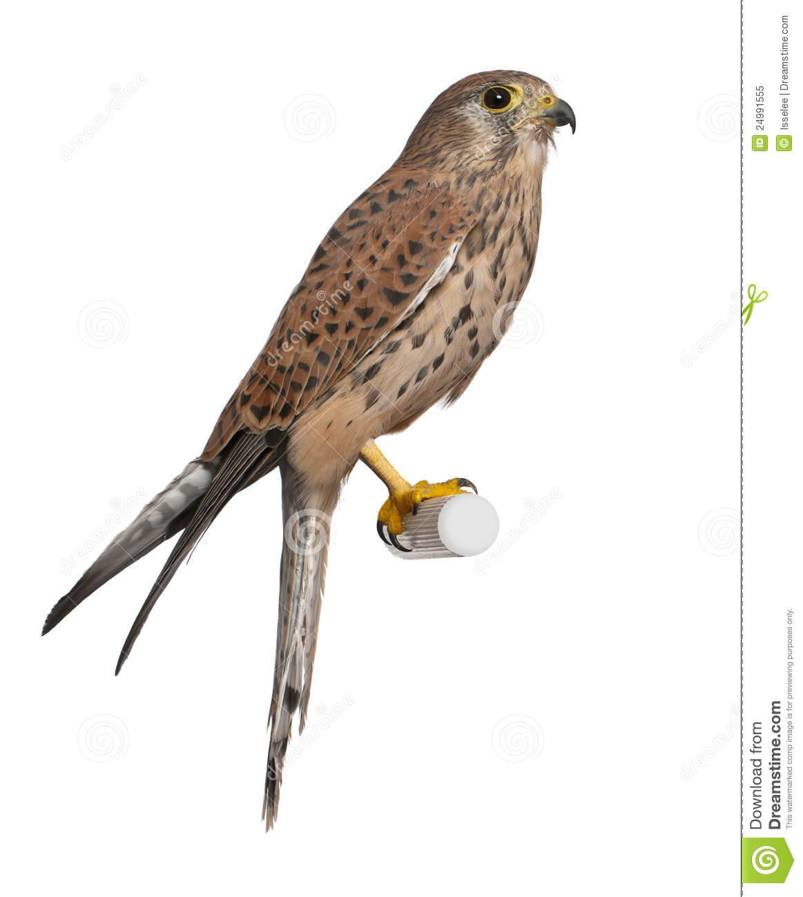 Common Kestrel, Falco Tinnunculus Royalty Free Stock Photo.