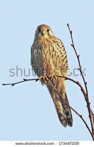 Falco Tinnunculus Stock Photos, Royalty.