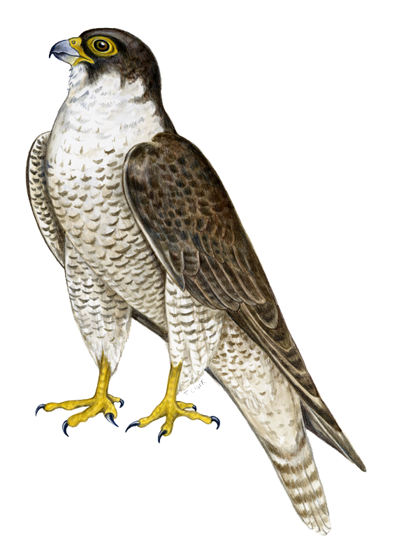 Falcon Clipart Png.