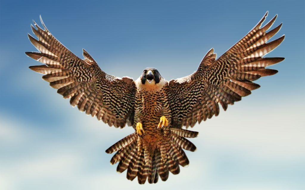 Falcon flying clipart 8 » Clipart Portal.