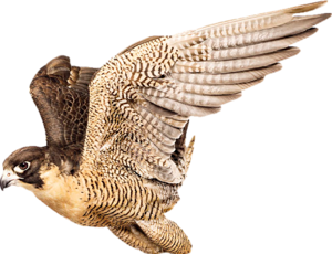 Download Free png Falcon PNG, Download PNG image with transparent.