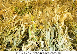 Corn shock Stock Photo Images. 205 corn shock royalty free images.