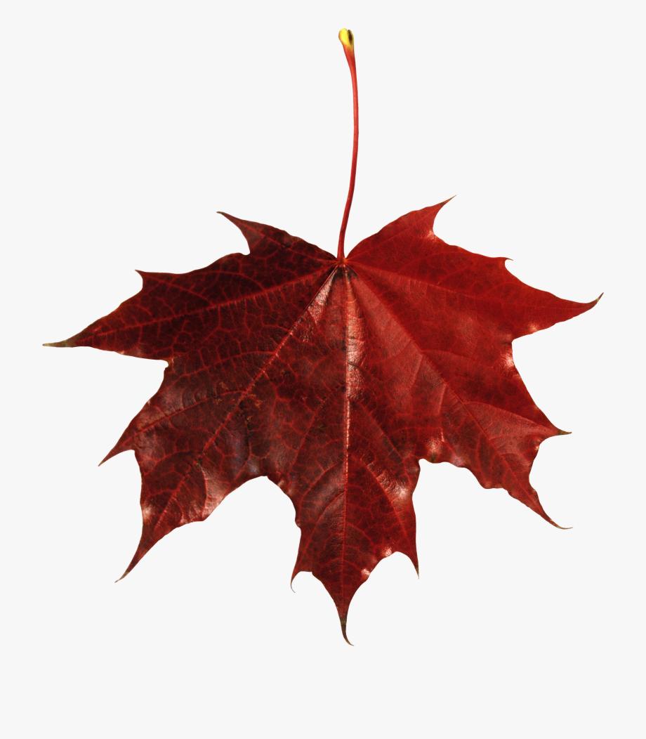 Autumn Png Leaf Fall Leaves Clip Art Transparent Background.