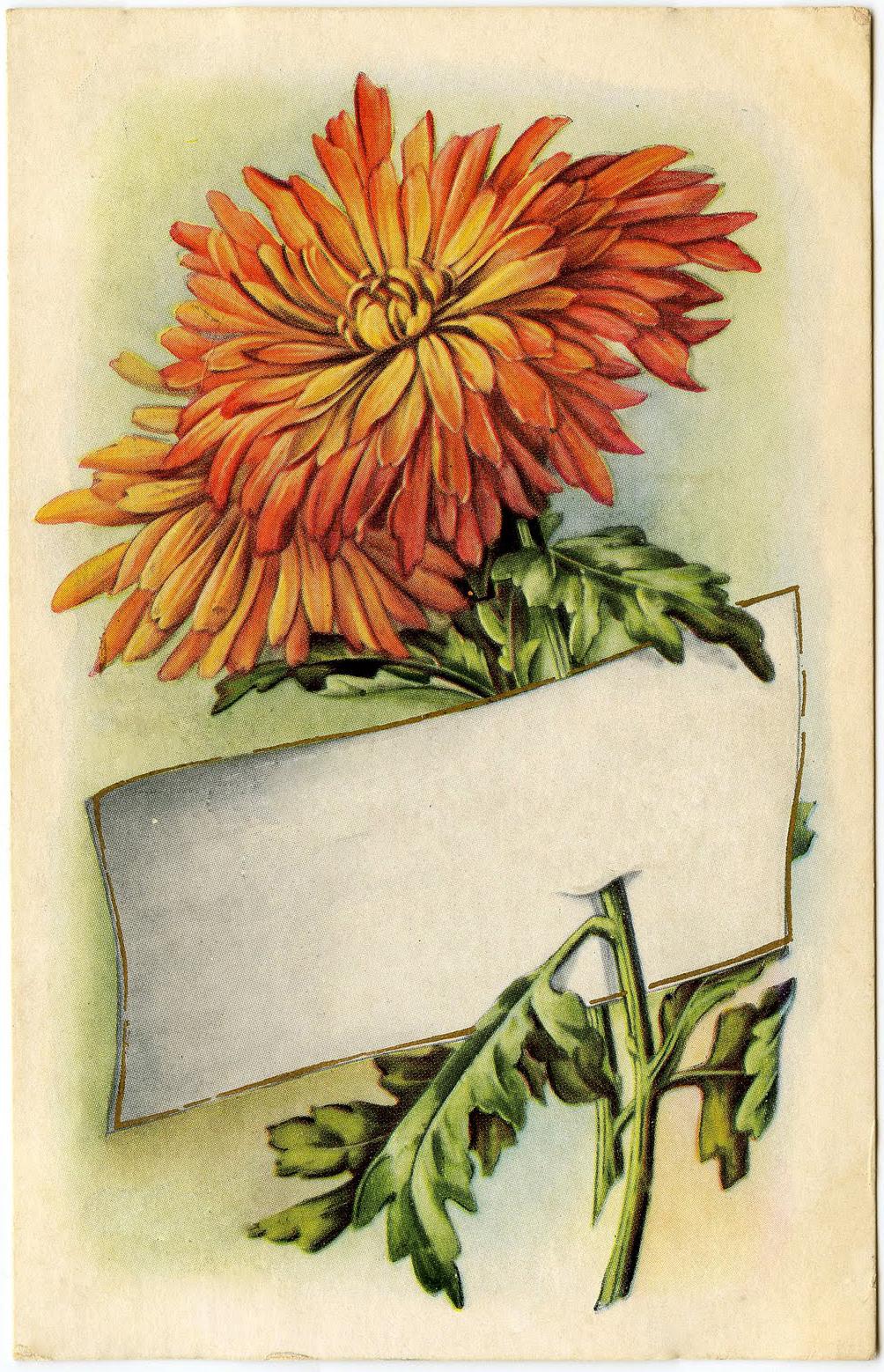7 Chrysanthemums Images.