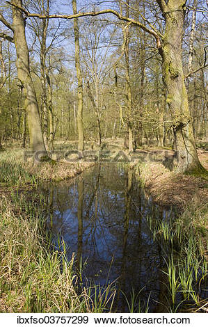 "Stock Photograph of ""Riparian forest with Oak trees or Pedunculate."