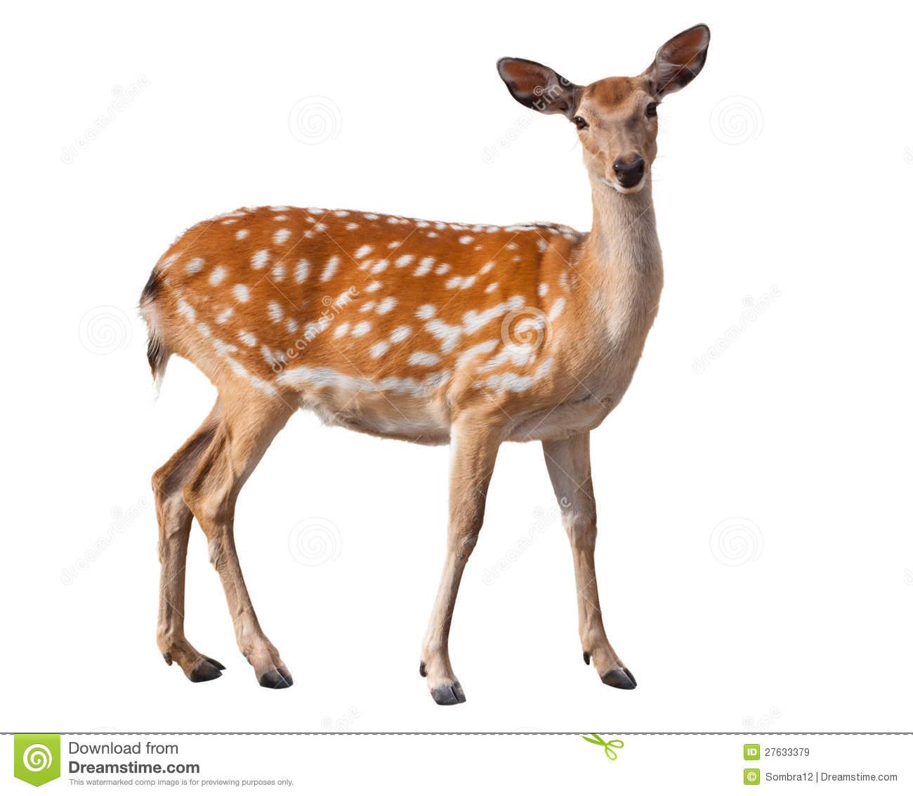 Fallow Deer Royalty Free Stock Images.