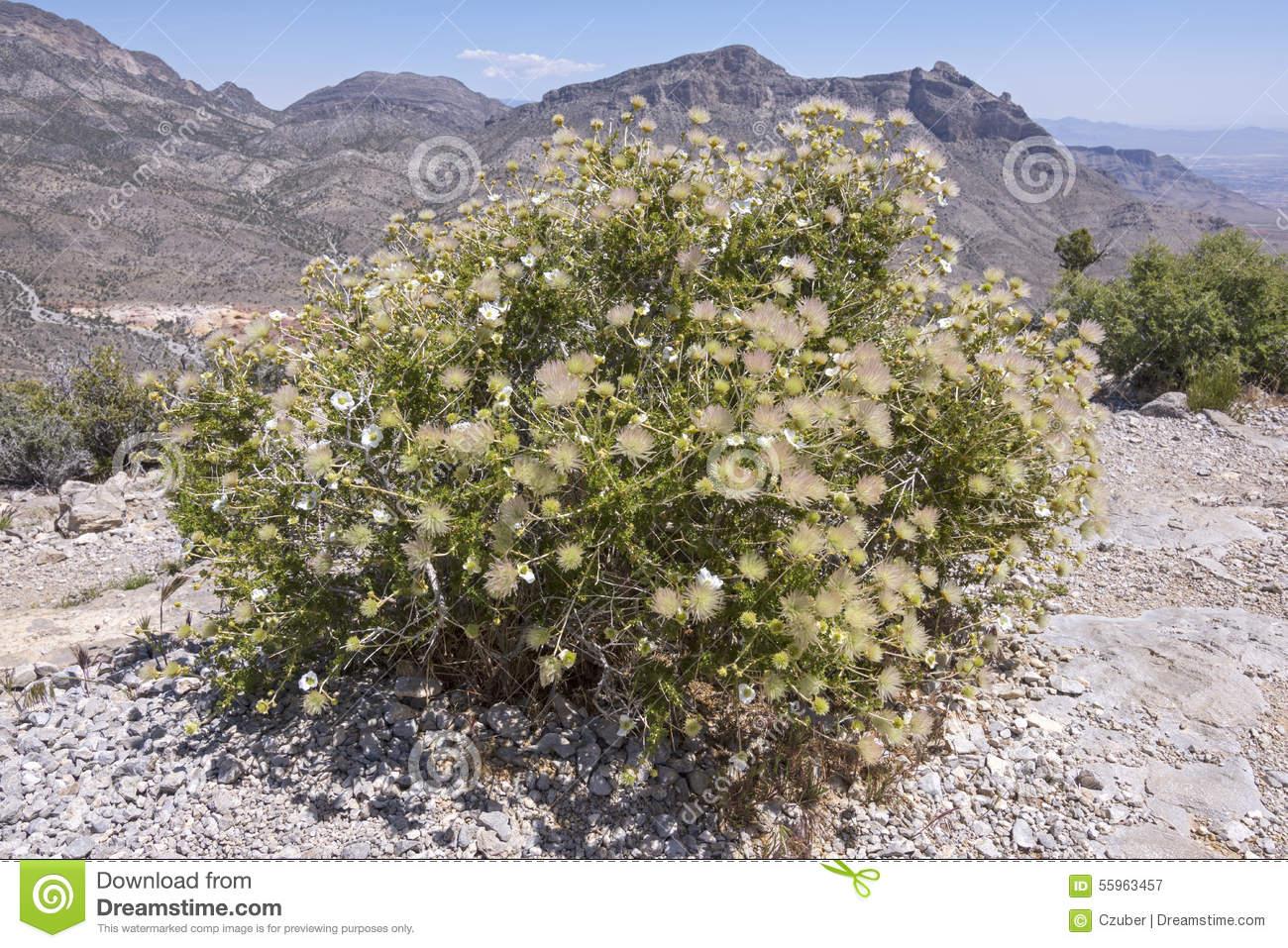 Apache Plume In Bloom In Desert Stock Photo.