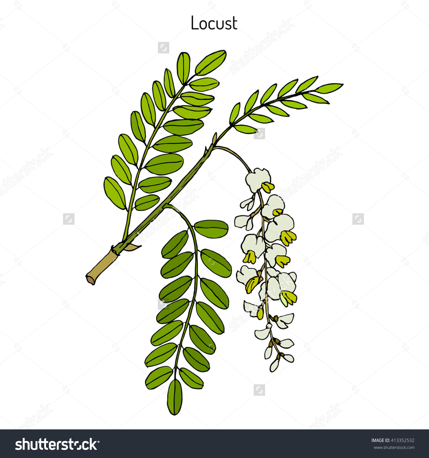 Robinia Pseudoacacia Black Locust False Acacia Stock Vector.