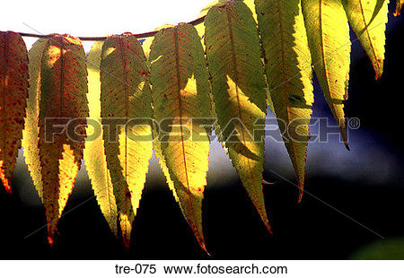 Stock Image of Wilting Leaves of False Acacia Wales UK tre.